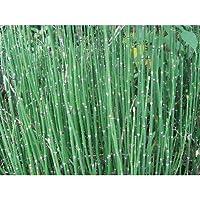 トクサ(砥草 木賊)(大株)3株セット スクリーン植栽 植木 花壇 常緑