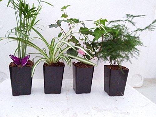 Holiday Plants Fairy Garden Terrarium Plants - 4 Plants in 3.1/4