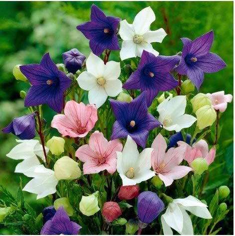 Tomasa Samenhaus- Raritäten 50 Stück Glockenblumen Samen Glockenblume Fuji-Mischung winterhart mehrjährig Blumensamen bienenfreundliche Beetblumen für Balkon, Garten