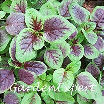 Potseed 500pcs Amaranthus Tricolor Köstlicher Gemüsesamen Grün Gemüse Hausgarten Pflanze DIY