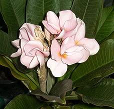 1 Grafted Plumeria, Fragrant Flowers, Frangipani, Temple Tree, Pagoda Tree, Flower Color: Light Pink