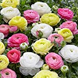 Mixed-Color Tecolote Ranunculus Pastel Mix | Soft Mixed-Color Blooms - 10 Extra Large Persian Buttercup Bulbs for Planting - Size 8+cm - Largest Commercially Available | Ships from Easy to Grow TM