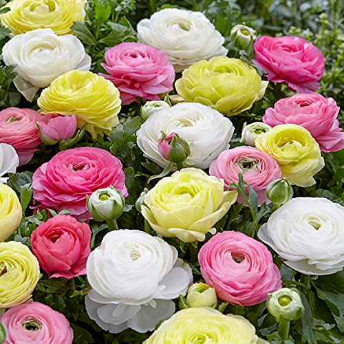 Mixed-Color Tecolote Ranunculus Pastel Mix   Soft Mixed-Color Blooms - 10 Extra Large Persian...