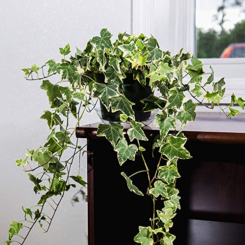 Perfect Plants Variegated English Ivy | Hedera Helix Variegata' | Easy Care Houseplant | Perfect for Bright Light Conditions, 6 in Grower's Pot, | Air Purifying