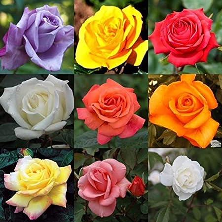 1 X Troika Hybrid Tea Rose Bush Bare Root