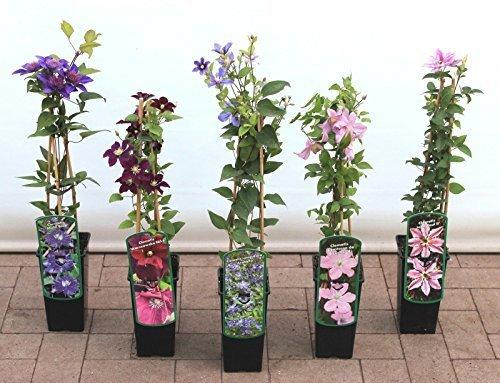 Pflanzen Für Dich -  Clematis
