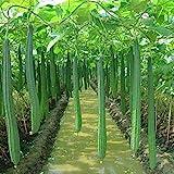 P12cheng Semillas de Semilla 100pcs/Bag Luffa Semillas No OGM Fácil de Plantar Frescas Hermosas Semillas Vegetales Interiores al Aire Libre para el Hogar - Semilla