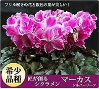 8:季節の多年生の花の種シクラメン - 20種