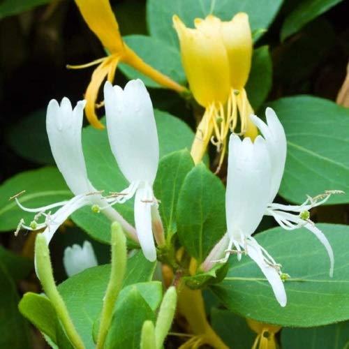 Geissblatt Halls Prolific (Lonicera Japonica) Kletterpflanze/Gelb - Immergrün & Winterhart - 1,5 Liter Topf | ClematisOnline Kletterpflanzen