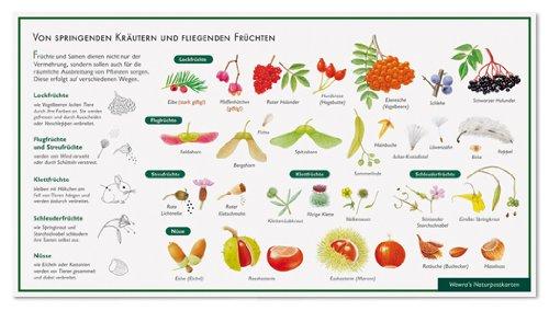 Früchte und ihre Verbreitung - Von springenden Kräutern und fliegenden Früchten - Wawra Naturpostkarte zum Entdecken, Beobachten, Bestimmen - 22 cm x 12 cm