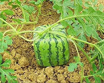 オリジナルパッケージフルーツ種子、水メロンの種、熟開花80日、8個の粒子の種子/バッグ