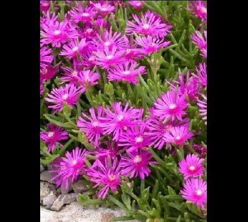 100 Graines de plantes ICE ~ Delosperma Cooperi rose tapis