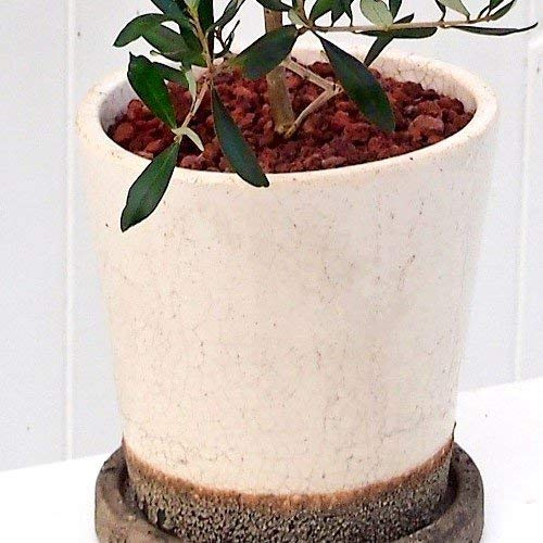 日比谷花壇『観葉植物「オリーブ」』
