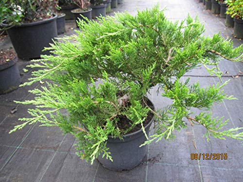 Mooswacholder Rockery Gem - Juniperus sabina Rockery Gem