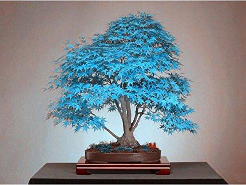 semillas de árboles bonsai semillas del árbol de arce azul. azul cielo rara japoneses plantas de semillas de arce Balcón para el jardín de 10PCS R78