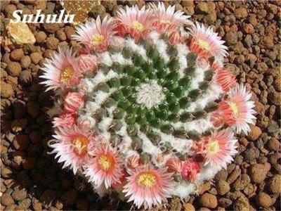 100 Pcs mixte vrai Cactus Seeds, Mini Cactus, Figuier, Graines Bonsai fleurs, vivaces herbes Plante en pot pour jardin 12