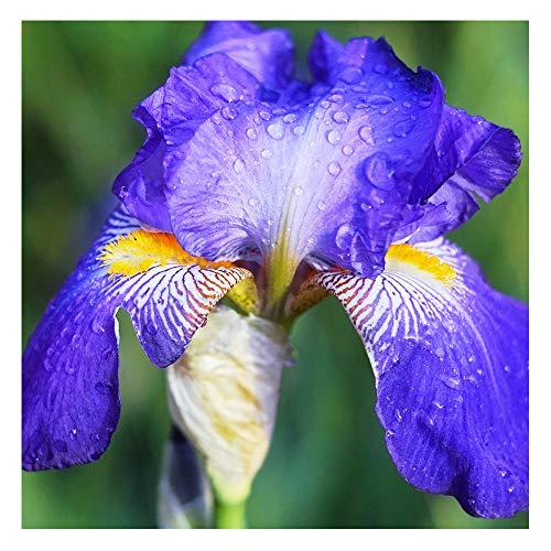 10 x Xtra Large Dutch Iris Blue Magic – Violet-Purple Blooms - for Your Beautiful Garden