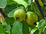Fresh Guava Leaves From Trees Grown in South Florida - 1 oz (approx. 10 to 25 leaves) - No pesticides or Chemical Sprays