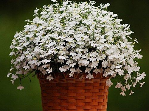 Organic Flower seeds Lobelia