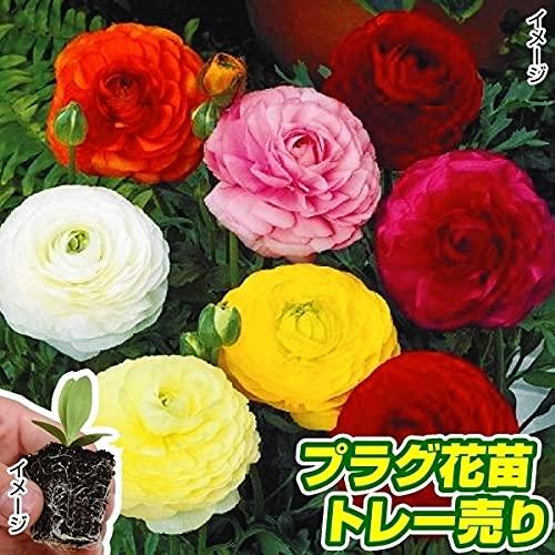 国華園 プラグ花苗 ラナンキュラスミックス(70本入・花色無選別) /21年秋商品