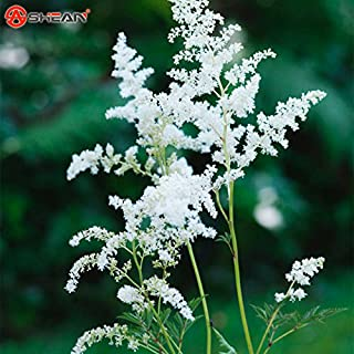 Loss Promotion! 100 Pcs White Chinese Astilbe Seeds Balcony Garden Patio Potted Bonsai Plants Astilbe Chinensis Flower Seeds
