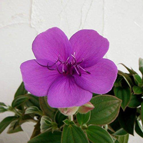 シコンノボタン5号鉢植え[美しい青紫の花 紫紺野牡丹]