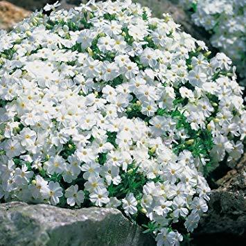 Qulista Samenhaus - Duftend Waldphlox Bodendecker Blütenteppich Blaukissen Berg-Sandkraut | Pflegeleicht 100pcs Blumensamen winterhart mehrjährig im Beet und Steingarten