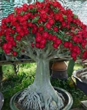 Best sharon fruit trees for sale Reviews
