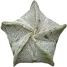 Bishop's Cap Cactus Astrophytum Myriostigma Gray Star Shape Cactus Bishop's Hat Bishop's Miter Cactus Bishop's Hood Star Cactus - 4'' Plants