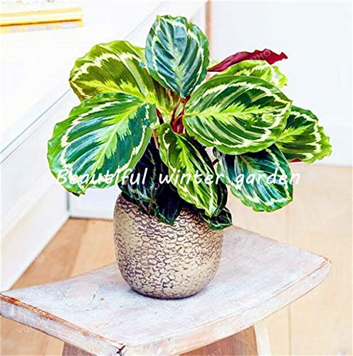 New! 100 Pcs Rare Calathea Bonsai Air Freshening plants High Humidity, Easy to Grow, Office Desk Bonsai for Flower Pot Planters : 4