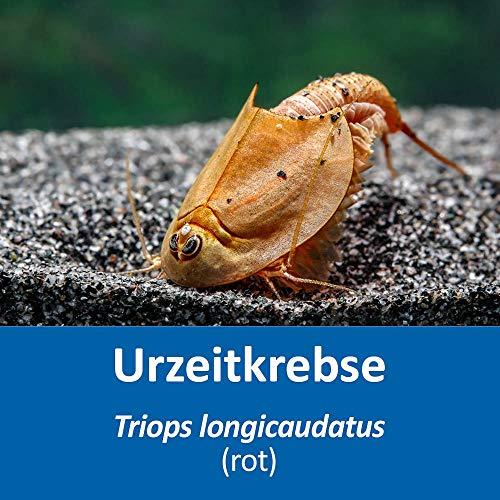 AQ4Aquaristik Triops longicaudatus (rot) RARITÄT (Zuchtansatz, ca. 100-250 Urzeitkrebs-Eier) mit Anleitung