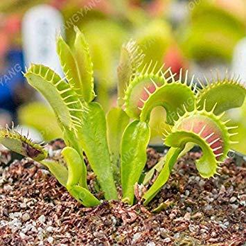 ASTONISH Erstaunen SEEDS: Grün: 50 PC-Rosa muscipula Clip Venus Flytrap Samen Bonsaipflanzen Blumensamen Fleisch fressende Pflanze Samen Grün