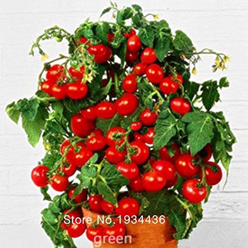 Fraîches graines Bonsai tomate cerise Mini pot doux fruits légumes biologiques - 10 pcs / lot