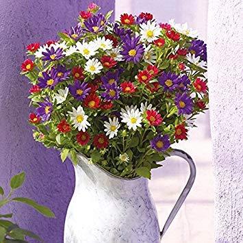 Derlam Samenhaus-20 Pcs Aster Palette Mixed Blumensamen mischung mehrjährig winterhart Bio exotische Samen China Schnittblume