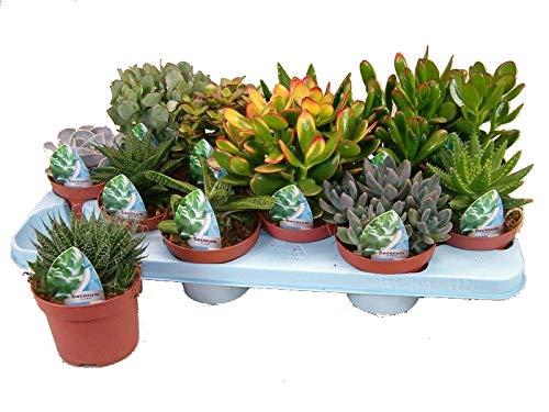 XL Sukkulenten, Mischung, je im 10cm Topf, Starter Set (12 Pflanzen im Set)