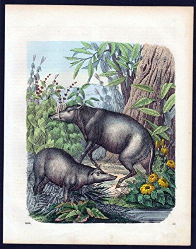 Hirscheber Schwein pig Lithographie lithograph