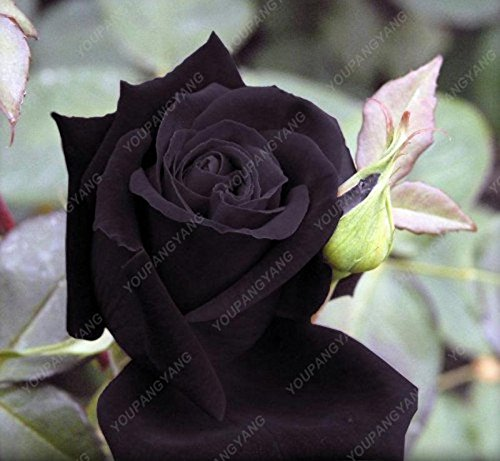 Kalash New 100pcs Rose Blumensamen für Gartendunkelgrau