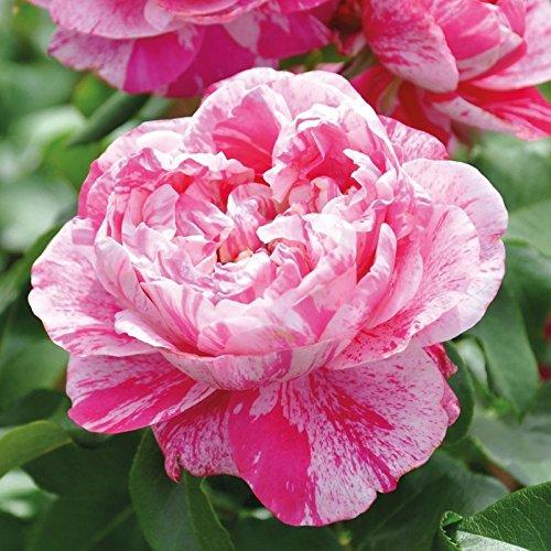 Kölle's Beste! Kletterrose 'Colibri Fabfestival®' ist eine zweifarbige, duftende Rose. Die gefüllten Blüten sind pink-weiß gestreift Form. Im 6 Liter Topf.