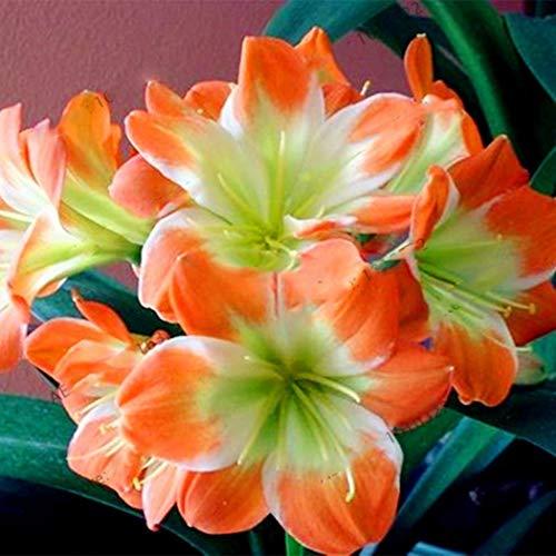 Acecoree Samen Haus Neue Nette entzückende Blumen Innenpflanzungs wohlriechende Blüte Clivia Samen