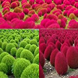 Kochia scoparia (red and Green Mixed)(100 Seeds/Pack)