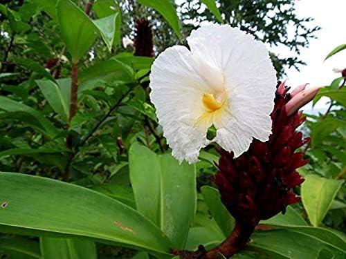 Industry No. 1 Dichondra 15pcs Very popular Costus speciosus Se Cheilocostus Plant