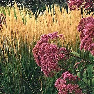 1 Healthy Starter Plant Calamagrostis Karl Foerster - Spring Shipping