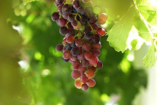 Rote kernlose Weinrebe - Vitis Vanessa -...