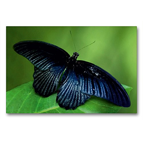 CALVENDO Premium Textil-Leinwand 90 x 60 cm Quer-Format Exotischer Schmetterling, Leinwanddruck von Heike Hultsch