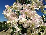 Bouganvillea Jamaica White Pianta in vaso di Bouganvillea Jamaica White - 10 Piante in vaso 7x7