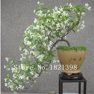Semillas de jazmín blanco, mezcla de semillas aromáticas de jazmín aromático, mezcla de semillas de jazmín mínimo 20 unidades