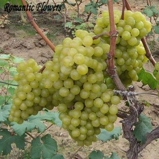 Mixed Grape Fruit Graine Fruit Tree plantules Potted plantules Kyoho Grape Seed Mention Rouge Enfant 20 particules / sac