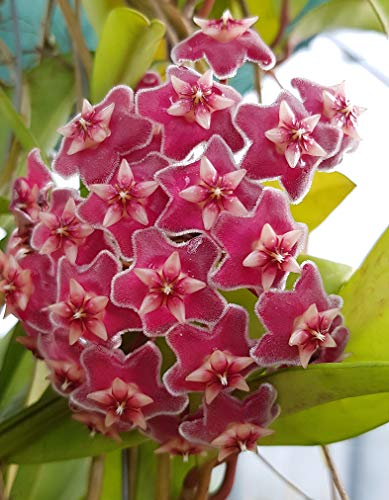 Hoya pubicalyx - wunderschöne hängende Zimmerpflanze ebenso Wachsblume oder Porzellanblume genannt - pflegeleichte Pflanze für das Wohnzimmer mit fantastischen Blüten