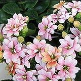 ミモザ+カーネーションの種:10月20日/ 50分の30 /ロット種子植物の種子ジョンキルカーネーションの花ナチュラルピュアシード