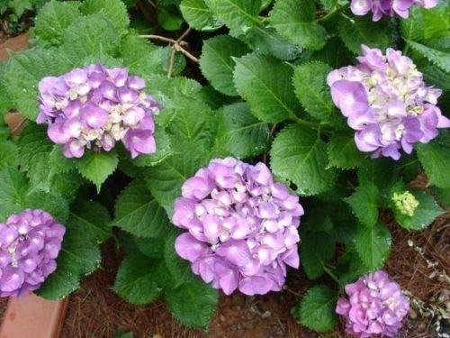 5 viola ortensia semi perenne Hardy Giardino Arbusto Fioritura della pianta del fiore di Bush